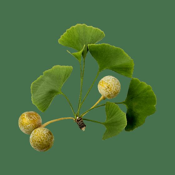 Ginkgo biloba | Sensilis EN